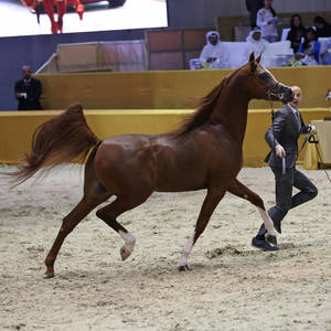 ABHA QATAR - 2015 Dubai International Bronze Champion Stallion