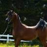 Bruges Arabian Horse Event