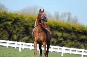 Bruges Arabian Horse Event 2016