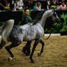 El Chall - Silver Champion Supreme Sr Stallion
