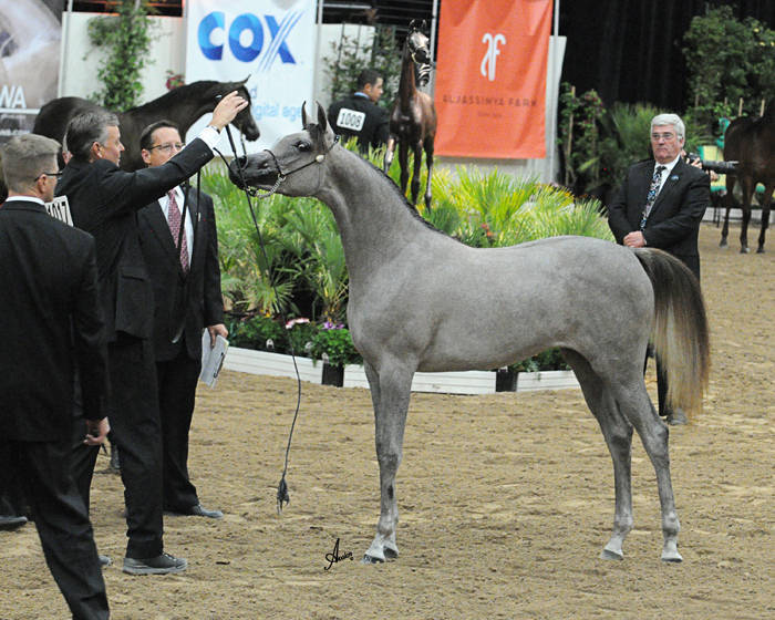 ABWC Yearling Filly Supreme Gold Champion - Noft Al Nayfat