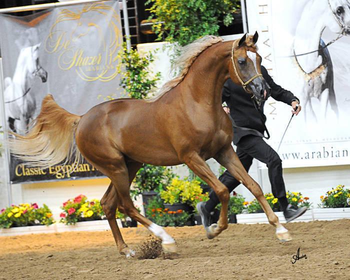 ABWC Junior Stallion Supreme Gold Champion - Barzan Al Shahania