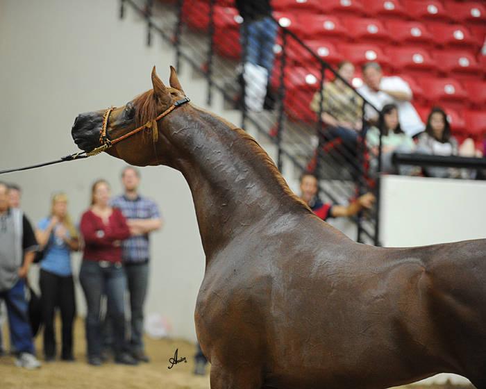 ABWC Senior Stallion Supreme Bronze Champion - LD Pistal