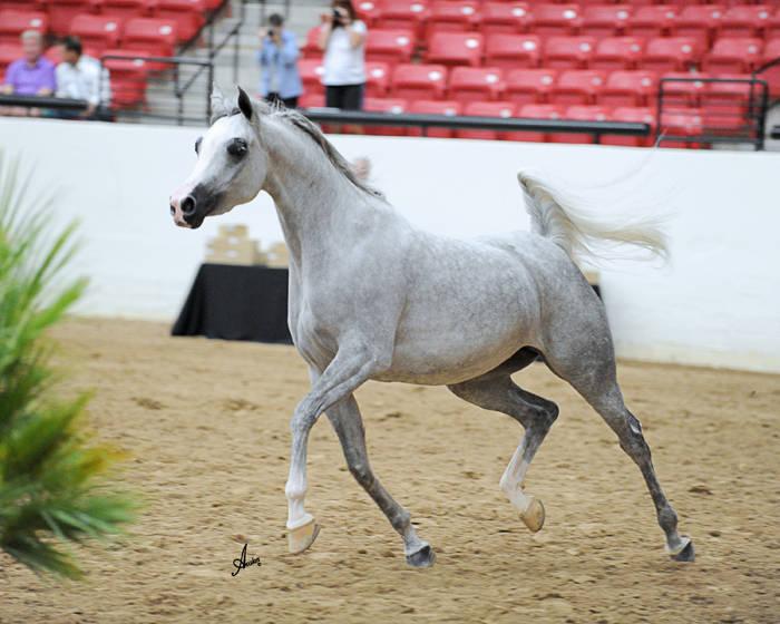 Cox Communications Arabian Freestyle Liberty Silver Champion - MSU Syrah
