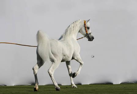Arabian Horse Breeding in the World Today: Ansata Hejazi