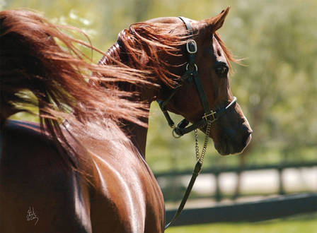 Arabian Horse Breeding in the World Today: Padrons Psyche