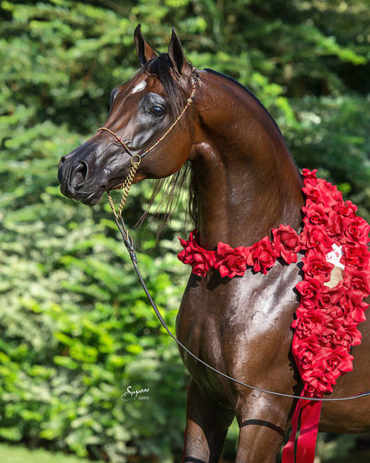 2015 Canadian National Champion Stallion portrait