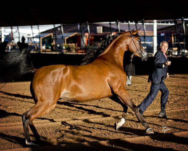 2013 Gemini Acres Scottsdale Arabian Horse Show