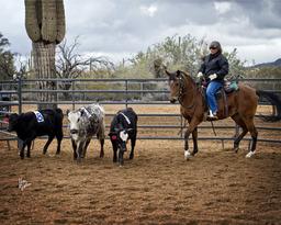 Gemini Acres 2013 Ranch Sorting Demonstration