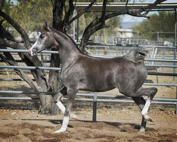 MISS EBONY GA - Region 2 Champion Half-Arabian Yearling Filly