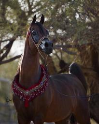 Da Vinci FM ~ Rs National Champion Stallion