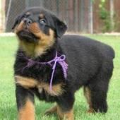 Vegas Pup