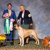 Best In Sweepstakes Catch's Footey Phenom with judge Perry Payson @ the Sunshine States Bullmastiff Club Specialty October 10, 2016