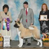 WD & Best Puppy Minds Quantum The Ransom Of Red Chief with judge Ms Sandy I Wheat @ the Heart of Texas Akita Specialty March 25, 2016