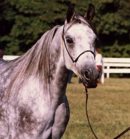 1983 mare HU-ELDRADA #279979 (Zhar-Raskal x Tyks Ebony) Halter/Broodmare at Hughes Arabians.