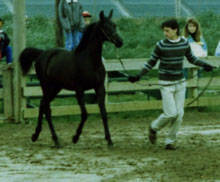 Grandson Mark, bathing & presenting 1990 Black filly HU-ALISHA #449759 (Hu-Mozhar x Hu-Eldrada). Now one of the lovely riding mares on the farm, and favorite with the kids; as she always has a wonderful, easy-going disposition.