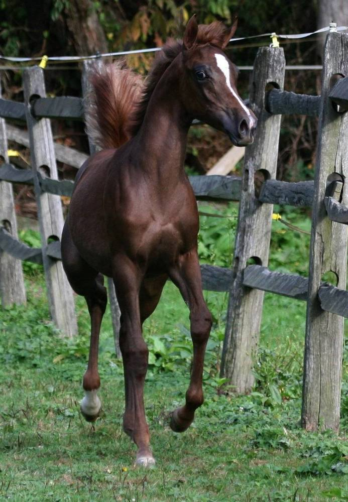 HU SHARIBA