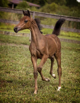 2015 Pstorm Lord X Daliaa B Filly