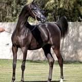 Black Pearl CRA