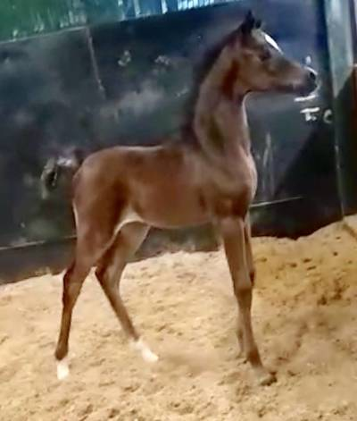 2018 *SM Azraff Filly