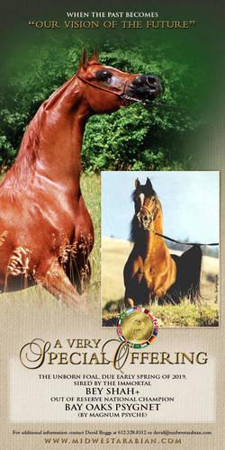 2019 Bey Shah Unborn Foal
