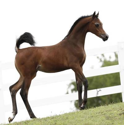Turbo JB - Half Arabian Colt