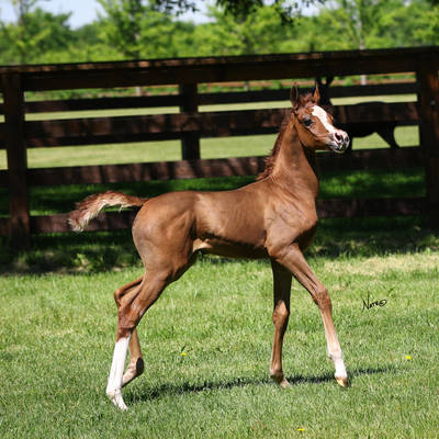 2019 Filly (Veyron ORA x Kim Crawford MA)