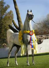 Supreme Champion ~ Baahir El Marwan