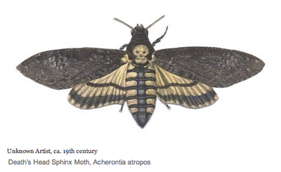 Death's Head Sphinx Moth