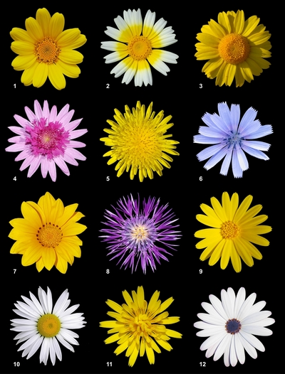 Twelve different species of flowers of the <i>Asteraceae</i> Family
