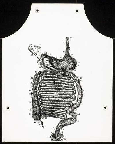 Stomach Anatomy Apron