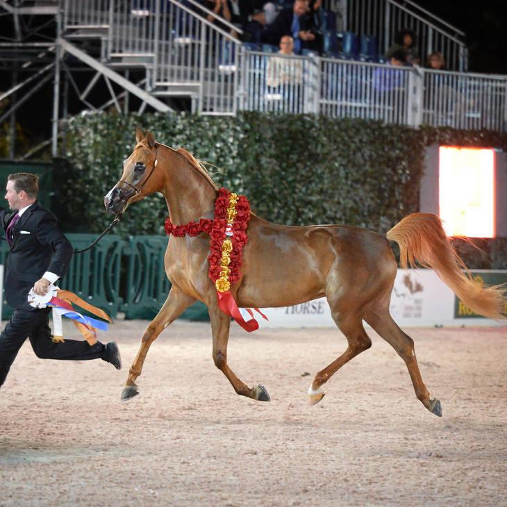 An Angel Arrives at Flaxman Arabians