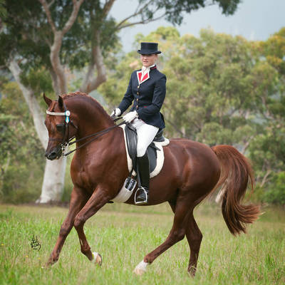 Australian Champion MULAWA BRONZE WINGS- AHSA Purebred Saddle Horse of the Year