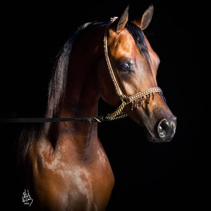 Australian Reserve Champion ANASTAZI MI