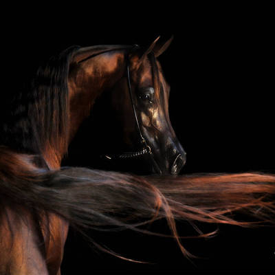 BECAUSE | Australian Champion Stallion Handled by an Amateur