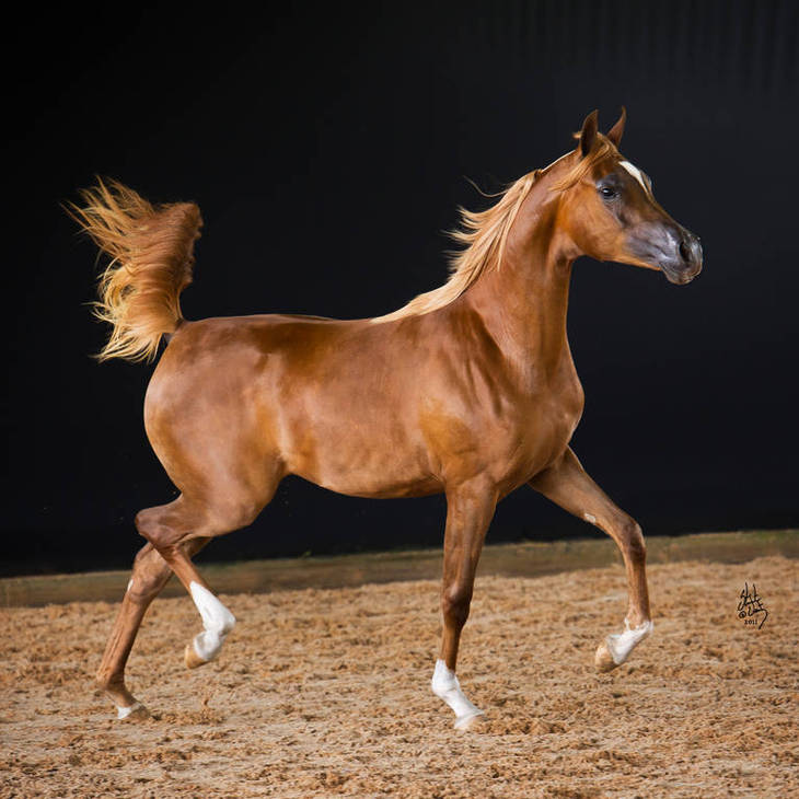 MI HARMONY | Australian Champion Yearling Filly