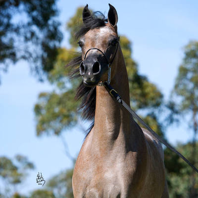MI KLASSIC FANTASY | Australian Reserve Champion Yearling Filly