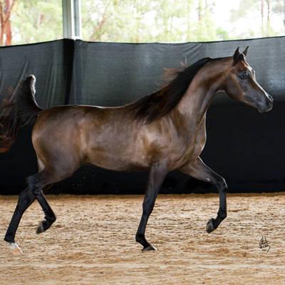 ATUNED  MI | Australian Reserve Champion Two & Three Year Old Stallion
