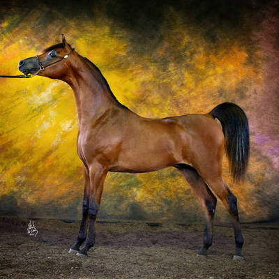 MAXIMILLIANO | Australian Champion Yearling Colt