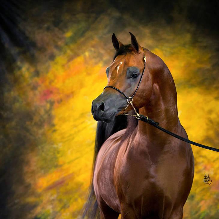 GUILIANO | Australian Champion Stallion