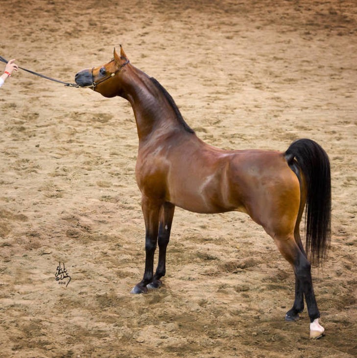 2012 Australian Champion Stallion with Andy Sellman