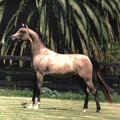 MULAWA ARIA as a Yearling