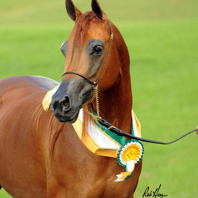 Australian Champion PARADA