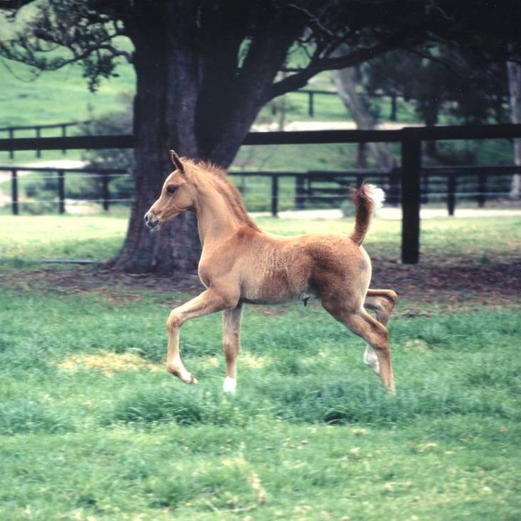FIRE FLAME as a foal