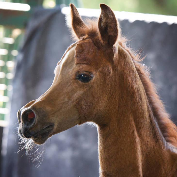 KLASSICAL FAITH MI as a foal