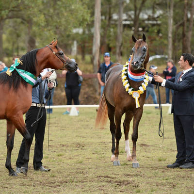 KONQUEST MI | National Stud Show Champion Junior Stallion