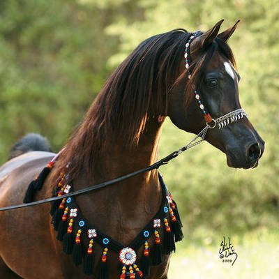 GAZAL AL SHAQAB | Sire of ANGELS LOVE MI