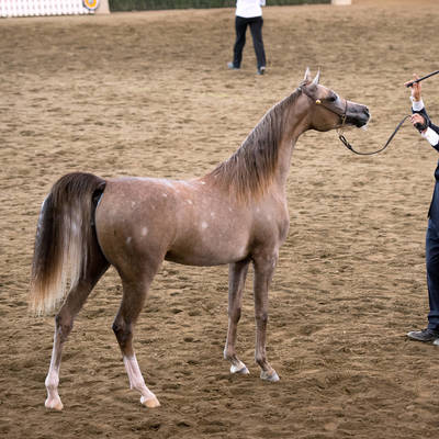 Australian National Champion Junior Mare | KLASSICAL PRESENCE MI