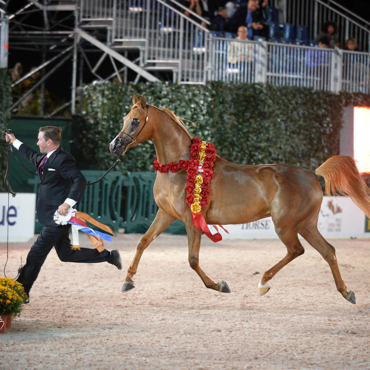 US Open Gold Champion Senior Mare VALENTINO'S ANGEL MI