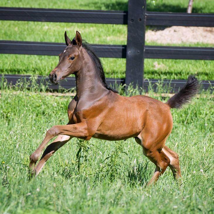 KAVALLE MI as a foal